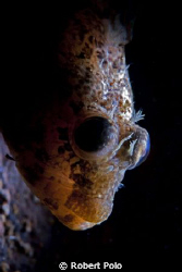 Portrait of a sculpin. Nikon D200, single strobe, snoot by Robert Polo 